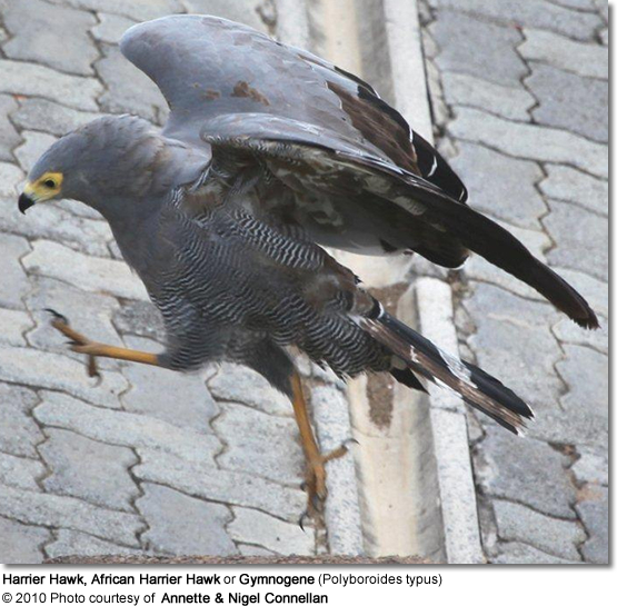 Harrier Hawk, African