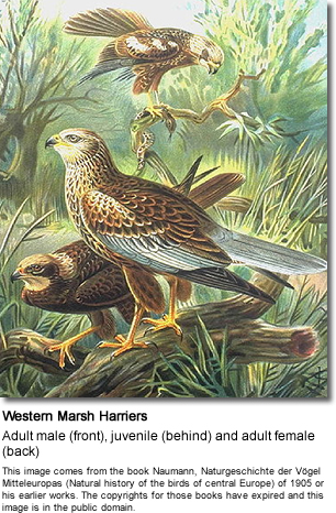 Marsh Harriers