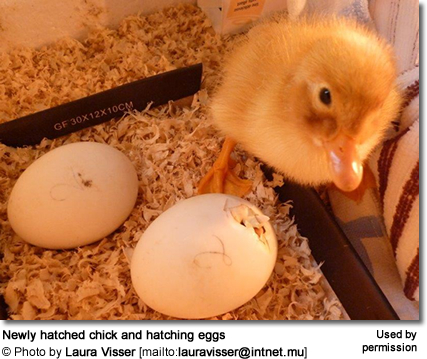 Hatchling and Hatching Eggs