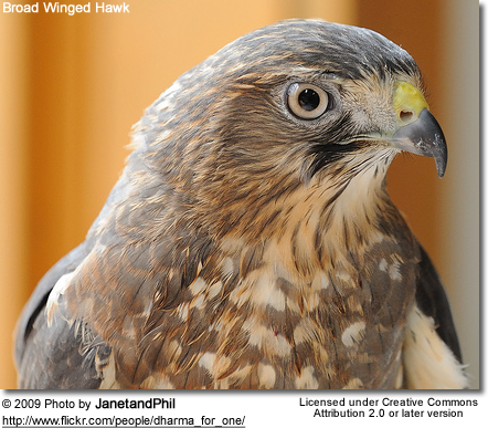 Broad-winged Hawk (Buteo platypterus)