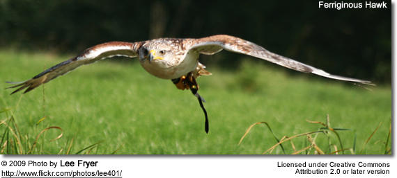 Ferriginous Hawk flying