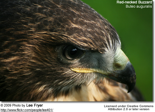Red-necked Buzzard (Buteo auguralis)