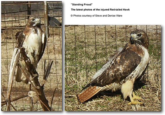 Recovering Red-tailed Hawk