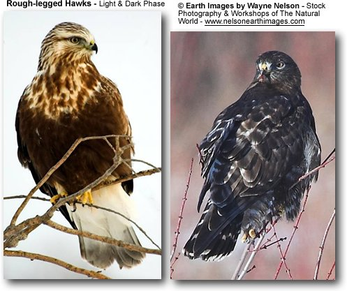 Rough-legged Buzzards