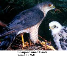 Sharp-shinned Hawks