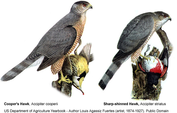 Sharp-shinned vs. Cooper's Hawk