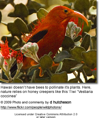 Scarlet Hawaiian Honeycreeper