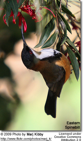 Feeding Eastern Spinebill