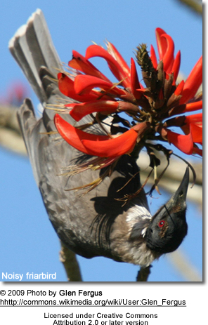 Noisy Friarbird taking nectar from a flower