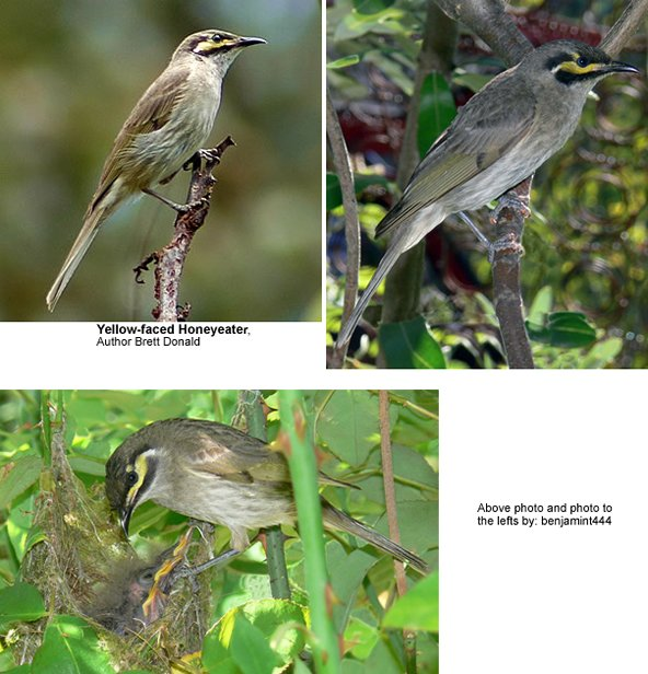 Yellow-faced Honeyeaters