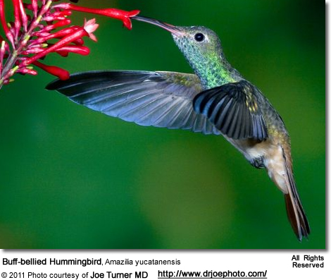 Buff-bellied Hummingbird, Amazilia yucatanensis