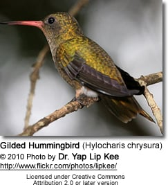 Gilded Hummingbird (Hylocharis chrysura)