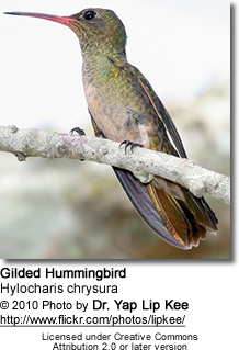 Gilded Hummingbird (Hylocharis chrysura), also known as the Gilded Sapphire