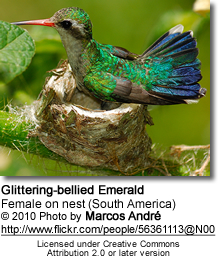 Glittering-bellied Emerald