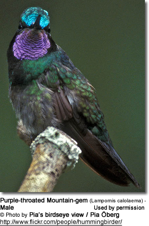 Purple-throated Mountain-gem (Lampornis calolaema) - Male