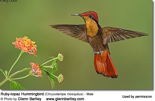Ruby-topaz Hummingbird - Male, Chrysolampis mosquitus