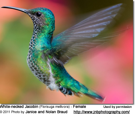 White-necked Jacobin (Florisuga mellivora) is also commonly known as Great Jacobin and Collared Hummingbird