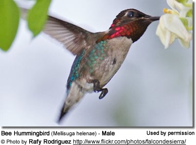 Bee Hummingbird Adult male