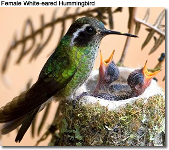 Female White-eared Hummingbird with chicks