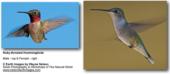 Ruby-throated Hummingbirds - Male - top, Female to the right