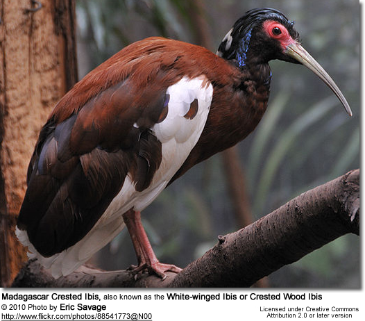 Madagascar Crested Ibis, also known as the White-winged Ibis or Crested Wood Ibis