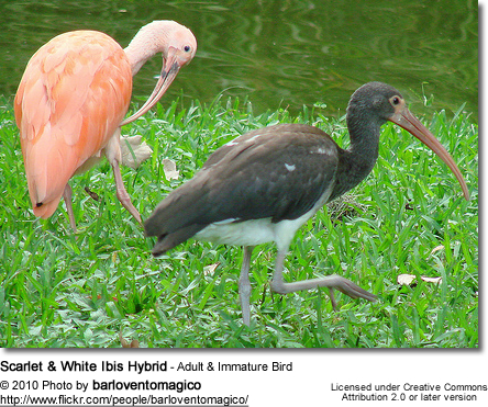 Scarlet and White Ibis Hybrid - Adult and Immature Bird