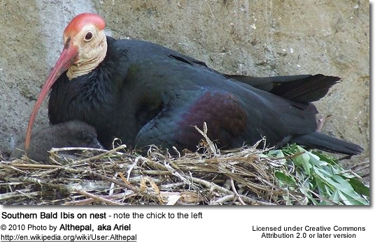 Southern Bald Ibis on nest - note the chick to the left