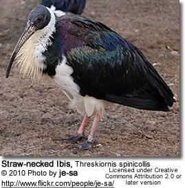 Straw-necked Ibis, Threskiornis spinicolli