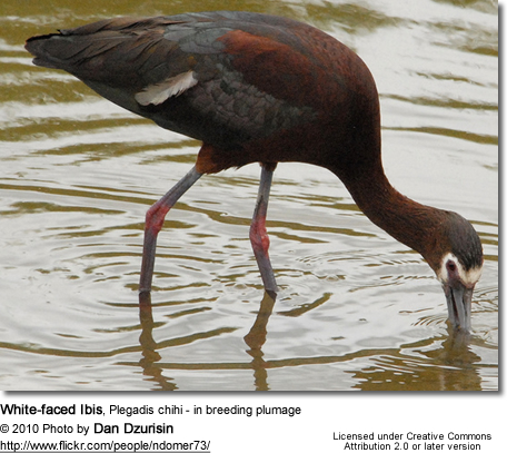 White-faced Ibis, Plegadis chihi - in breeding plumage