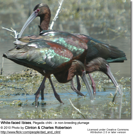 White-faced Ibises, Plegadis chihi - in non-breeding plumage