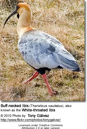 Buff-necked Ibis (Theristicus caudatus), also known as the White-throated Ibis