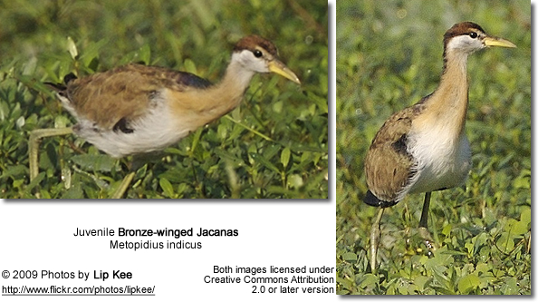 Juvenile Bronze-winged Jacana
