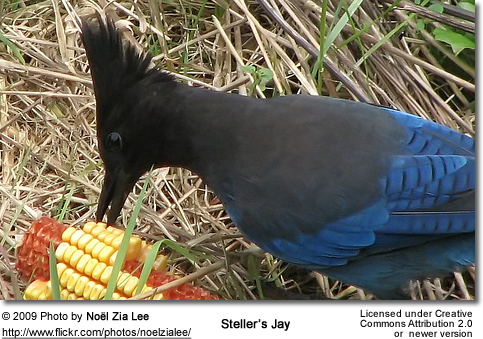 Steller's Jays feeding on a corn cob