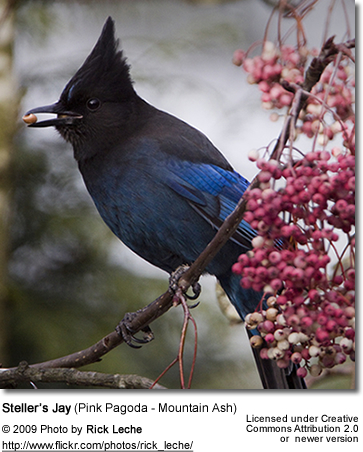 Steller's Jay eating berries