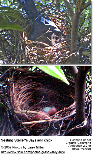 Nesting Steller's Jay with eggs and one hatchling