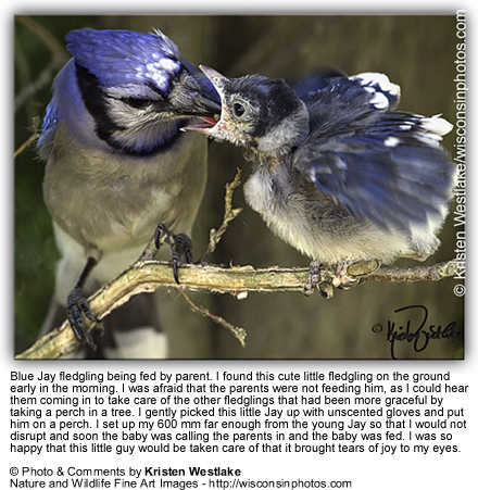 Blue Jay Parent feeding Chick