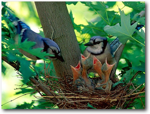 Blue Jay Parents