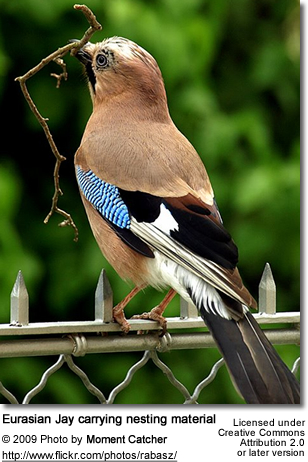 Eurasian Jay carrying nesting material