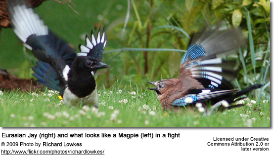 Eurasian Jay and Magpie fighting