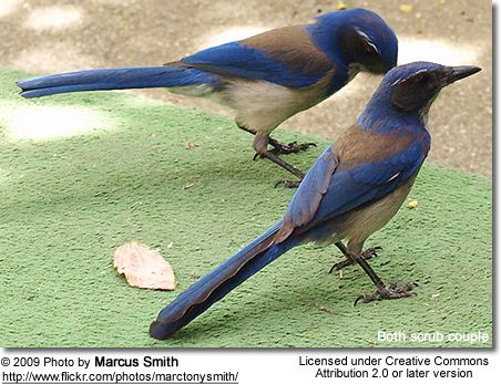 d6aadab8c96 Western Scrub-Jays (Aphelocoma californica), also known as Long ...