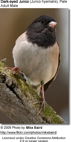 Dark-eyed Junco, (Junco hyemalis), Pale Adult Male