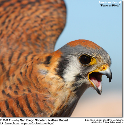 Kestrel - Featured Photo