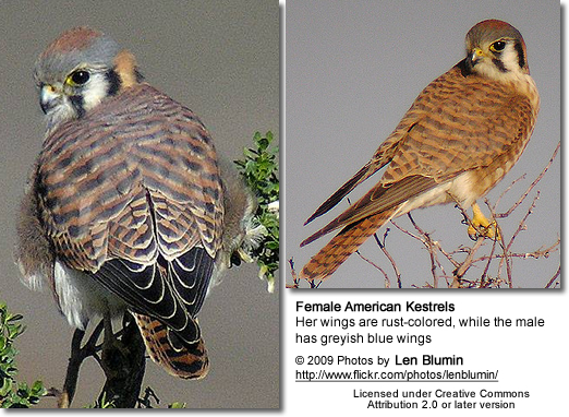 American Kestrel Females - note the rust-colored wings. Males have blue-grey wings