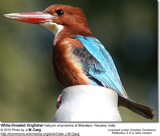 White-throated Kingfisher, White-breasted Kingfisher or Smyrna Kingfisher, Halcyon smyrnensis