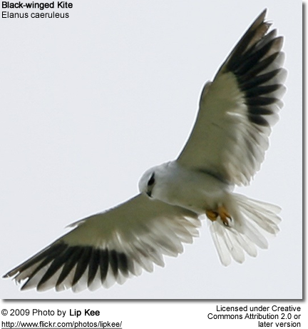 Black-winged Kite