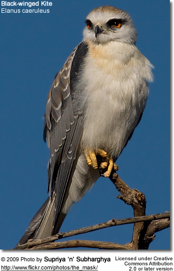 Black-winged