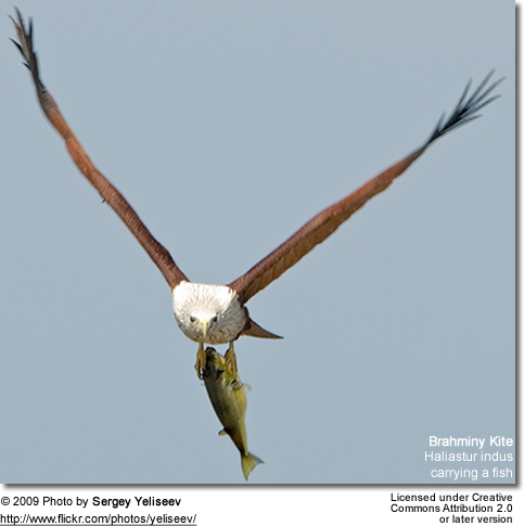 Brahminy Kite carrying a fish
