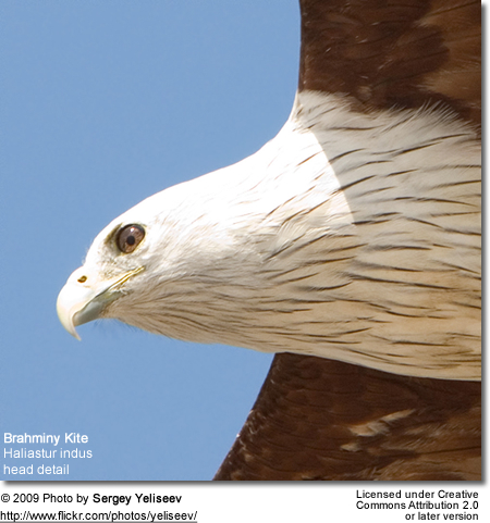 Brahminy Kite Head Detail