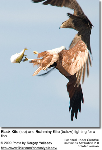 Black Kite and Brahminy Kite fighting over a fish
