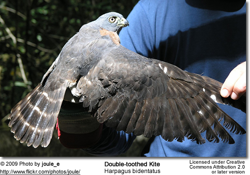 Double-toothed Kite - upper-wing detail